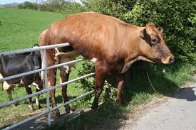 cowstuck